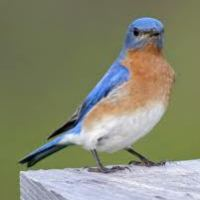 Eastern Bluebird Facts For Kids - Eastern Bluebird Diet