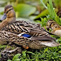 What Do Mallard Ducks Eat - What To Feed Mallard Ducks
