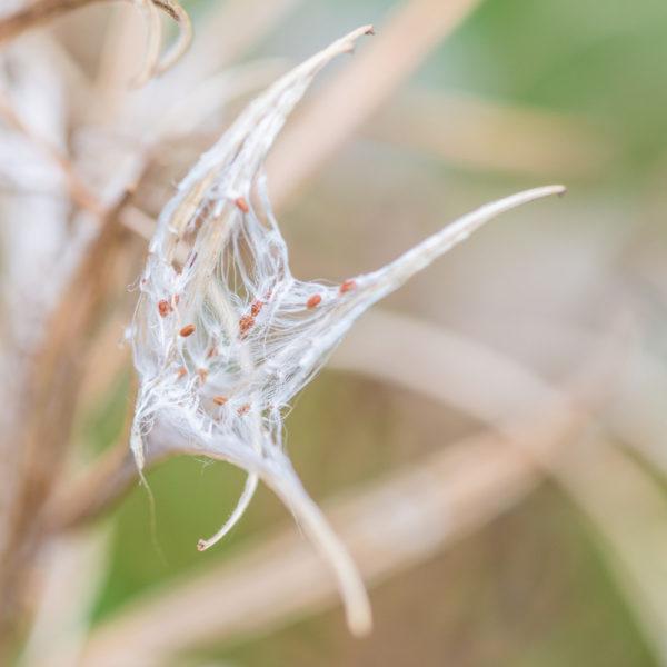 النباتات التي يتغدى عليها طائر الحسون في
