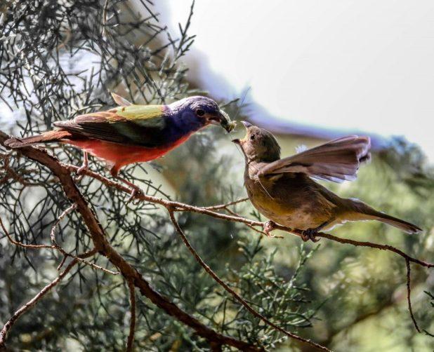 طائر الراية الملونة موسم التكاثر