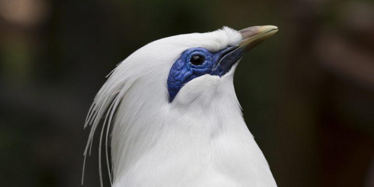 الزرزور الابيض او مينا بالي طيور المينا البيضاء