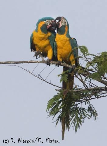 Blue-throated Macaw (Ara glaucogularis). Photo by D. Alarcon/C. Mateu