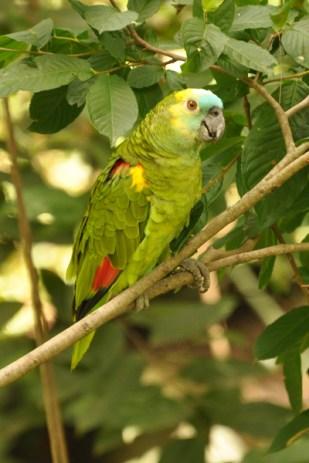 Turquoise-fronted Parrot (Amazona aestiva). Copyright SK Herzog.