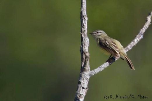 Phyllomyias weedeni (Yungas Tyrannulet). Copyright D Alarcon/C Mateu.