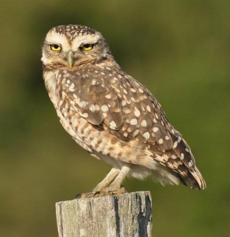 Burrowing owl (Athene cunicularia). Copyright SK Herzog.