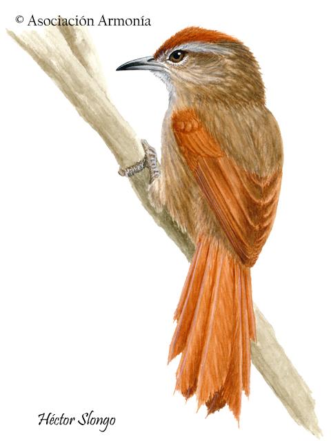 Ash-browed Spinetail (Cranioleuca curtata)