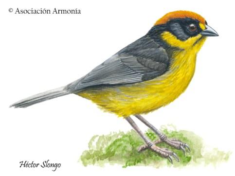 Bolivian Brushfinch (Atlapetes rufinucha)