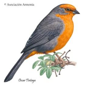 Cochabamba Mountain-Finch (Poospiza garleppi)
