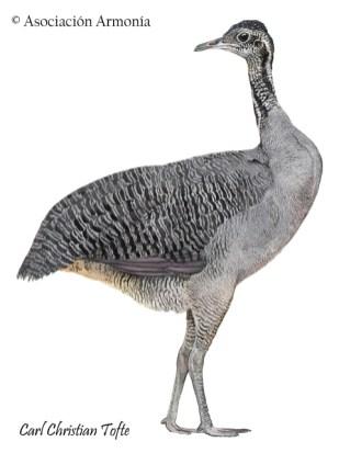 Gray Tinamou (Tinamus tao)
