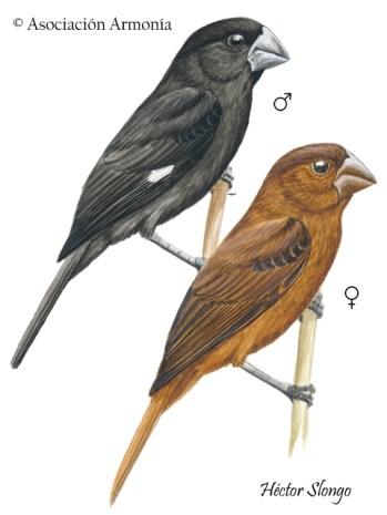 Great-billed Seed-Finch (Sporophila maximiliani)