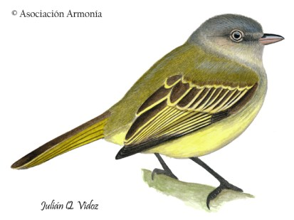 Red-billed Tyrannulet (Zimmerius cinereicapilla)