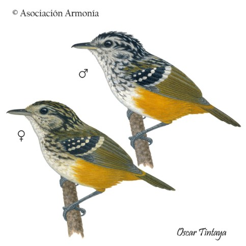 Rondonia Warbling-Antbird (Hypocnemis ochrogyna)