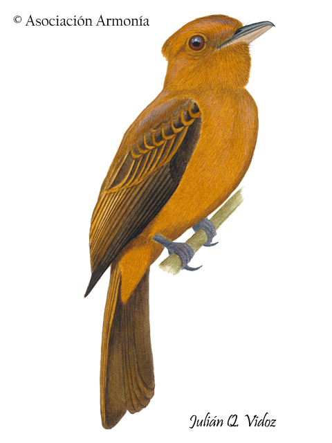 Rufous Twistwing (Cnipodectes superrufus)