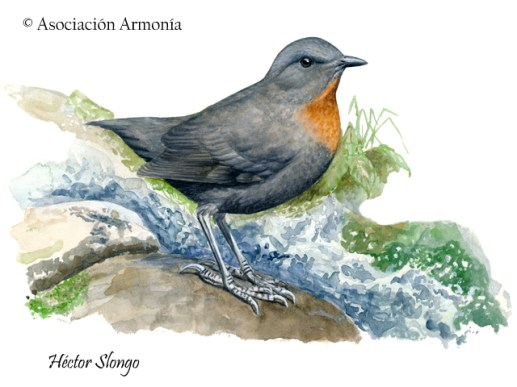 Rufous-throated Dipper (Cinclus schulzi)
