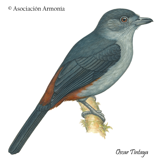 Scimitar-winged Piha (Lipaugus uropygialis)