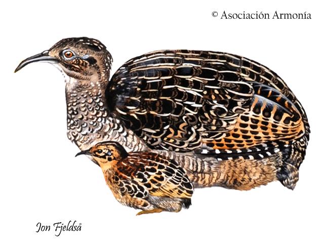 Taczanowski's Tinamou (Nothoprocta taczanowskii)