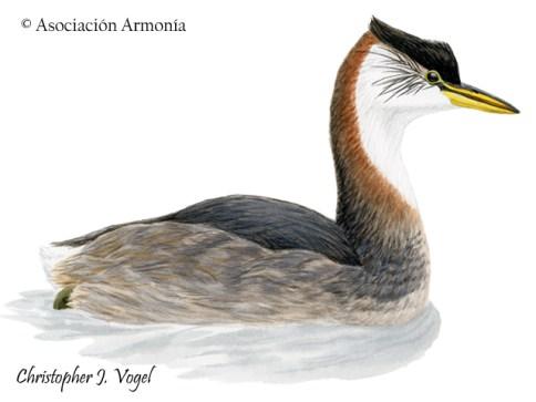 Titicaca Grebe (Rollandia microptera)