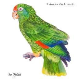 Tucuman Parrot (Amazona tucumana)
