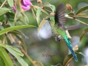 Aglaiocercus kingi (Long-tailed Sylph). Copyright S Vargas