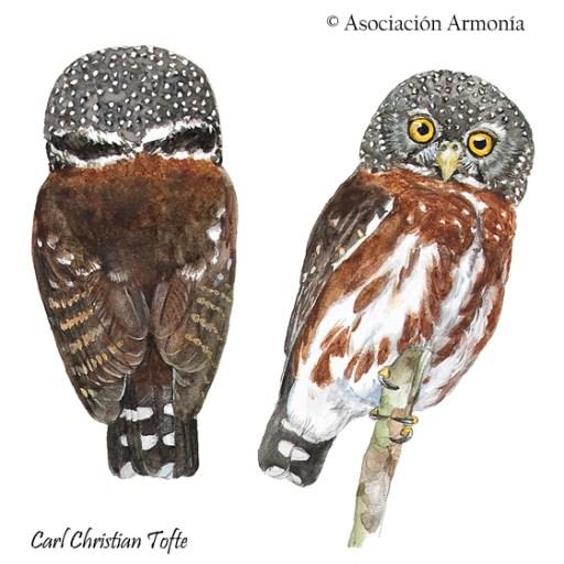 Amazonian Pygmy-Owl (Glaucidium hardyi)