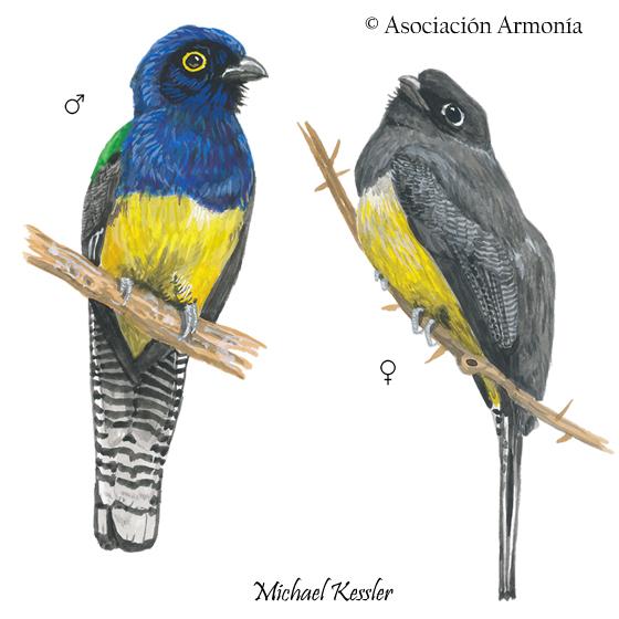 Amazonian Trogon (Trogon ramonianus)