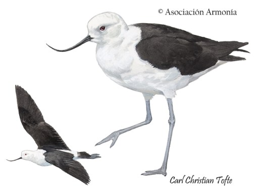 Andean Avocet (Recurvirostra andina)