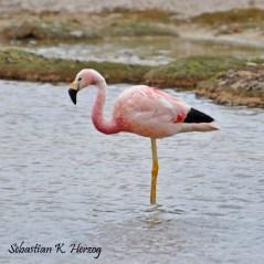 Andean Flamingo (Phoenicoparrus andinus) Copyright SK Herzog.