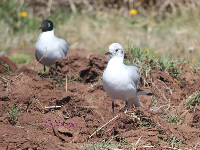 Andean Gull (Chroicocephalus serranus) 2 Copyright S Vargas