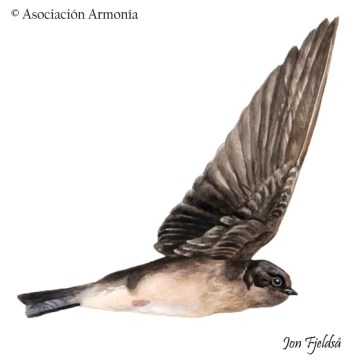 Andean Swallow (Orochelidon andecola)