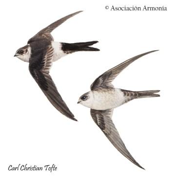 Andean Swift (Aeronautes andecolus)