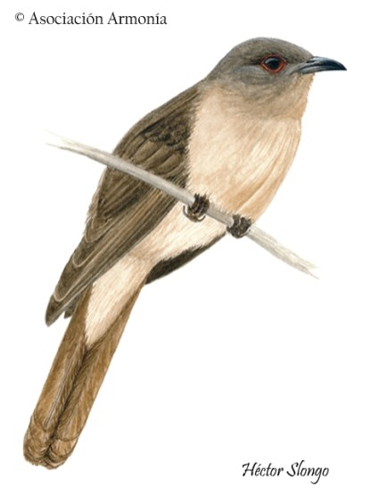 Ash-colored Cuckoo (Coccycua cinerea).