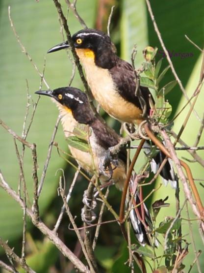 Black-capped Donacobius (Donacobius atricapilla). Copyright S Vargas.