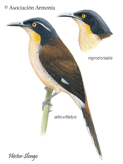 Black-capped Donacobius (Donacobius atricapilla)