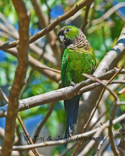 Black-capped Parakeet (Pyrrhura rupicola). Copyright T&J Wijpkema.