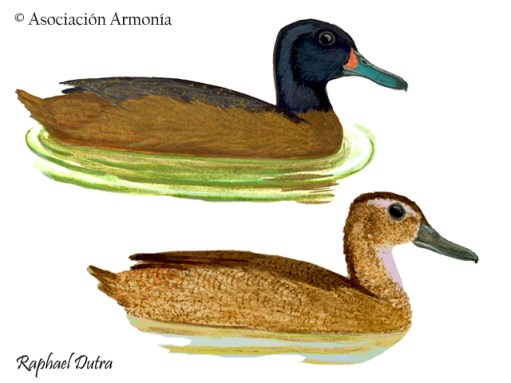 Black-headed Duck (Heteronetta atricapilla)
