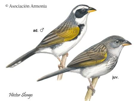 Black-masked Finch (Coryphaspiza melanotis)