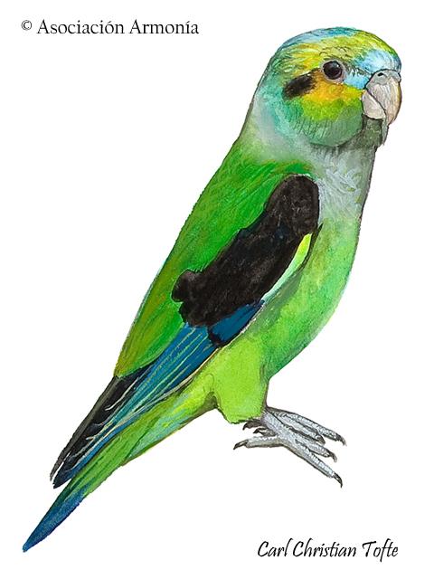 Black-winged Parrot (Hapalopsittaca melanotis)