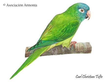 Blue-crowned Parakeet (Thectocercus acuticaudatus)