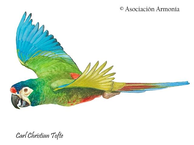 Blue-winged Macaw (Primolius maracana)