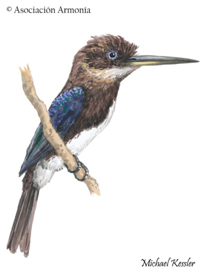 Brown Jacamar (Brachygalba lugubris).