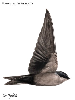 Brown-bellied Swallow (Orochelidon murina)