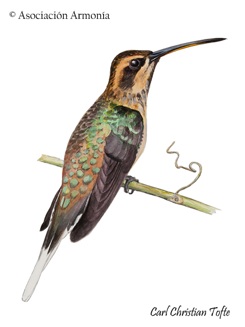 Buff-bellied Hermit (Phaethornis subochraceous)