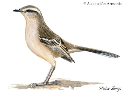 Chalk-browed Mockingbird (Mimus saturninus)