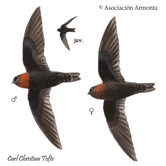 Chestnut-collared Swift (Streptoprocne rutila)