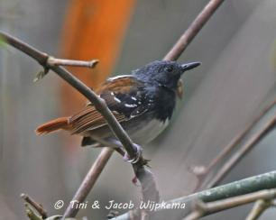 Chestnut-tailed Antbird (Sciaphylax hemimelaena) Copyright T&J Wijpkema.
