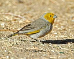 Citron-headed Yellow-Finch (Sicalis luteocephala). Copyright T&J Wijpkema.