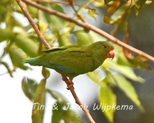 Cobalt-winged Parakeet (Brotogeris cyanoptera). Copyright T&J Wijpkema.