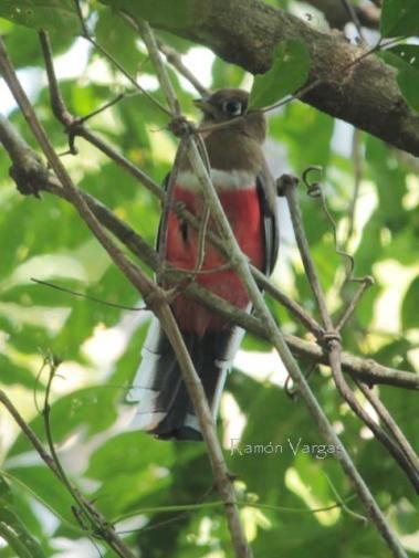 Collared Trogon (Trogon collaris) female Copyright R Vargas