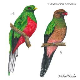 Crested Quetzal (Pharomachrus antisianus)