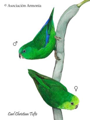 Dusky-billed Parakeet (Forpus modestus)